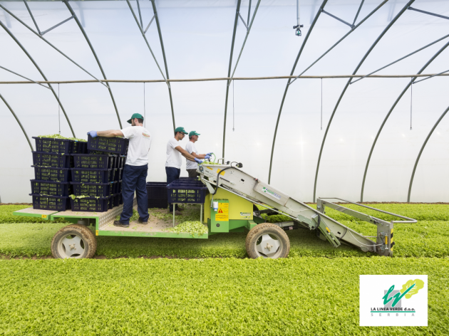 The harvesting at a plastic green house